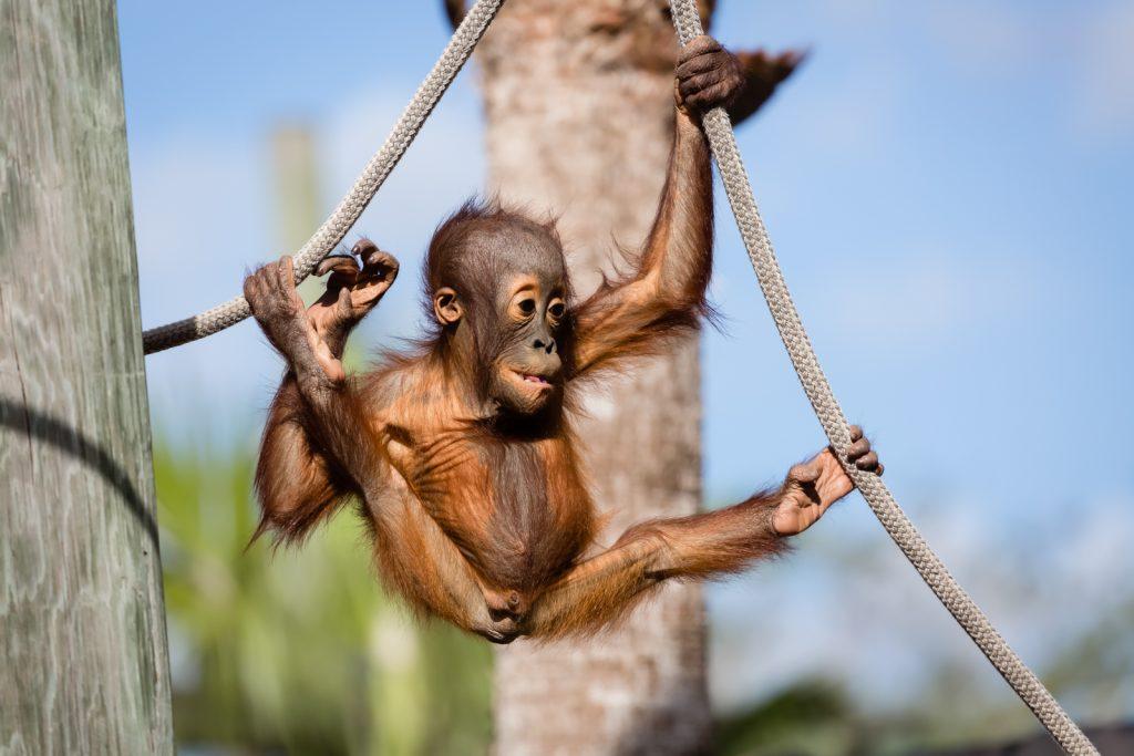 Baby Orangutan at Lowry Park Zoo, Tampa, Florida
