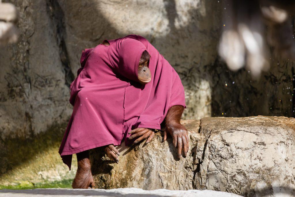 Orangutan in Clothes at Lowry Park Zoo, Tampa, Florida