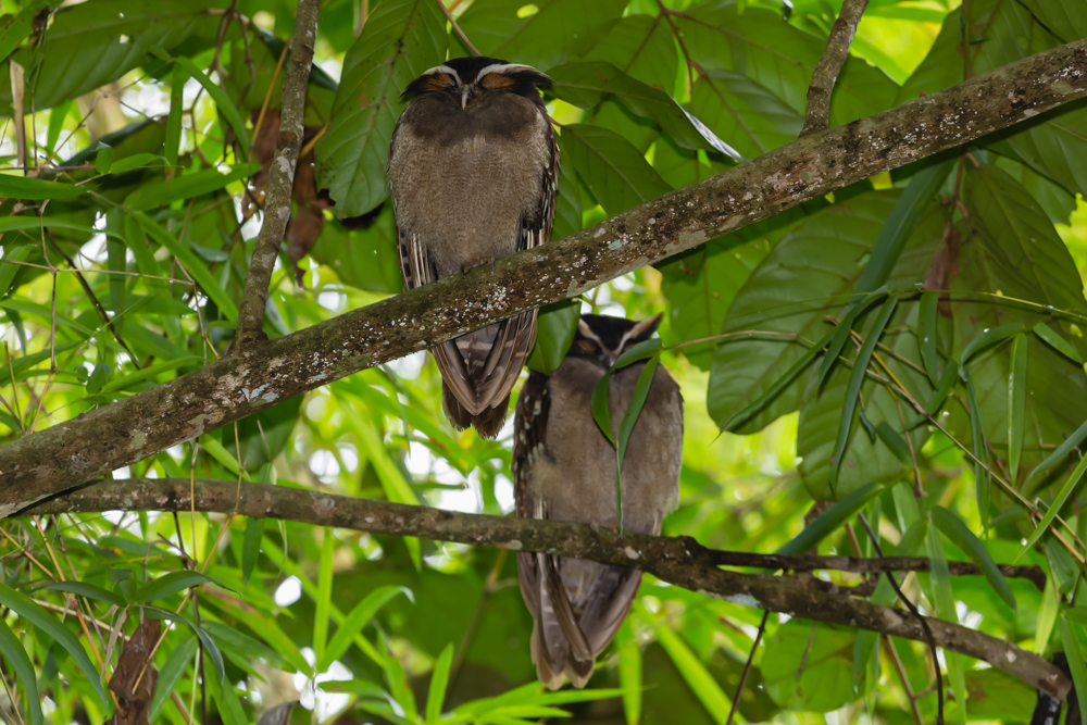 Spectacled Owl - Pacuare Lodge