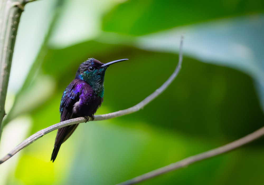 Violet -crowned Woodnymph - Pacuare Lodge
